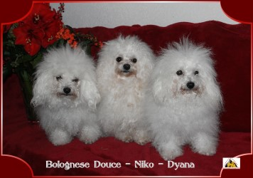 Bichon bolognese by Havanese Stars Marguerite Seeberger